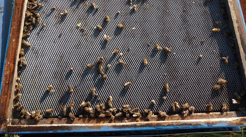Pomor pčela – zimski gubici